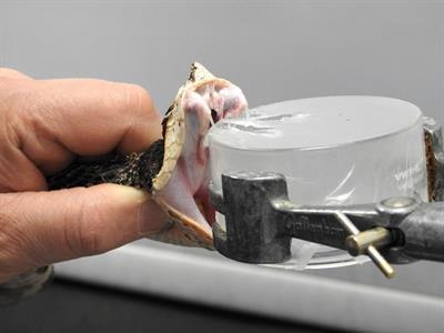 Stem Cells May Offer Key to Treating Venomous Snake Bites