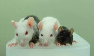 Mouse rat chimera